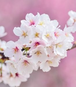 春の花見のサクラは自然繁殖できない日本独自の桜「ソメイヨシノ」