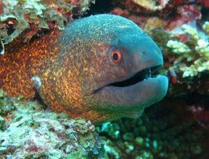 うつぼ(ウツボ)は美容にコラーゲンたっぷりな魚