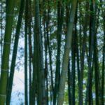 竹の花が不吉な1つの理由|2020年コロナ感染が当たった?