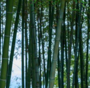 竹の花が咲くと不吉と言われてる1つの理由