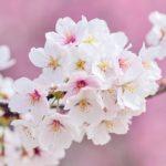 インドア室内でお花見できる5つの方法|エア桜のススメ