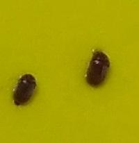 シバンムシとは?台所に出る茶色いゴマのような虫の生態・特徴